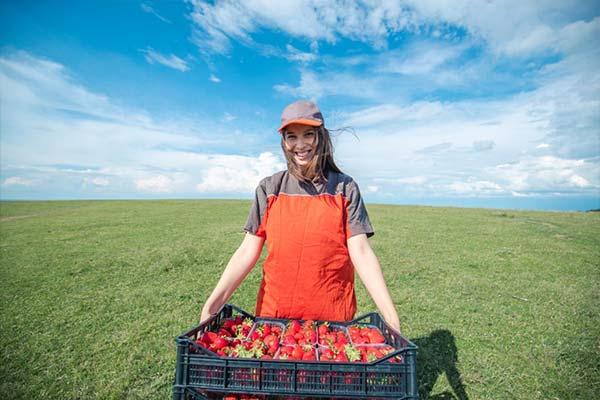 Công nhân thu hoạch